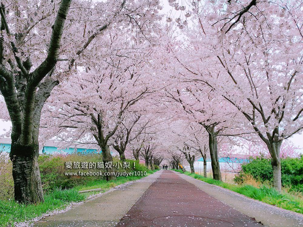 【釜山賞櫻】洛東江櫻花,三樂江邊公園對面人較少!